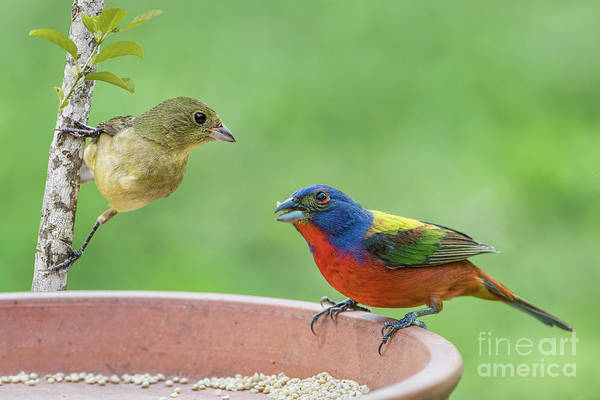 Wall Art - Photograph - Painted Bunting Male And Female by Bonnie Barry