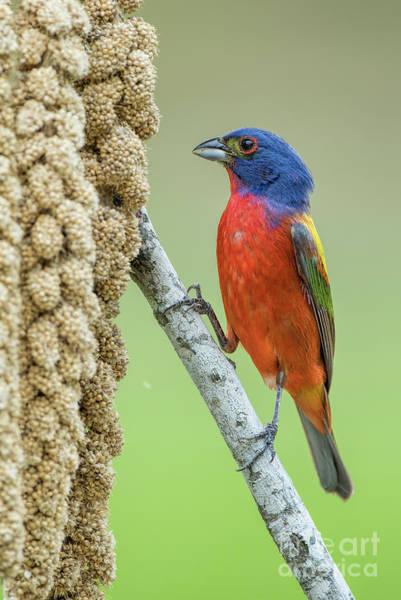Wall Art - Photograph - Painted Bunting Male Eating Millet by Bonnie Barry