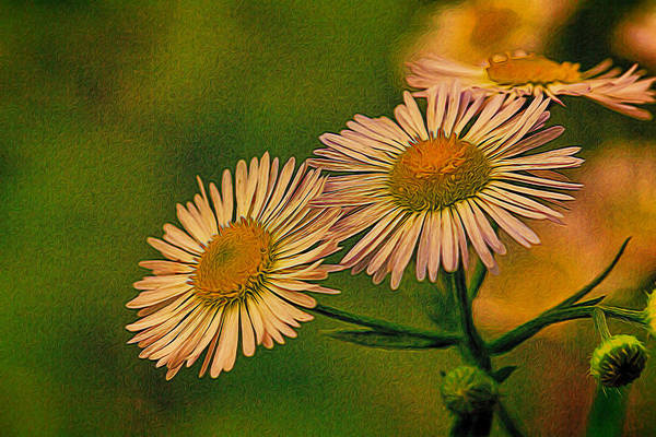 Painted Daisies 2 Art Print