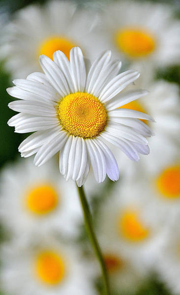 Photograph - Painted Daisies by Mark Fuller
