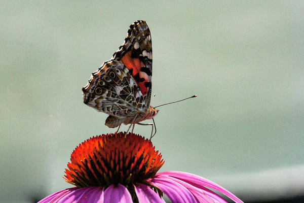 Photograph - Painted Lady 1 by Pete Federico