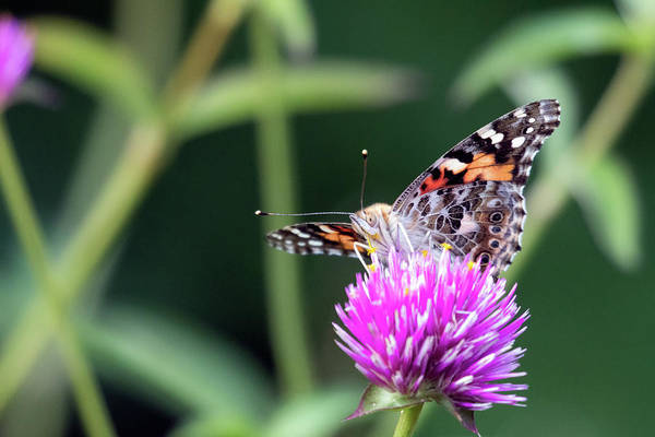 Photograph - Painted Lady 2 by Brian Hale