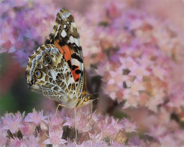 Wall Art - Photograph - Painted Lady - Autumn Sedum by Nikolyn McDonald