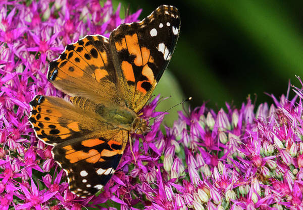 Photograph - Painted Lady Butterfly And Flower by Edward Peterson