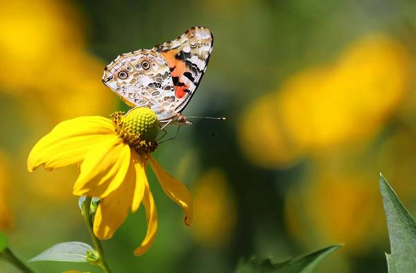 Photograph - Painted Lady Butterfly II by Carol Montoya