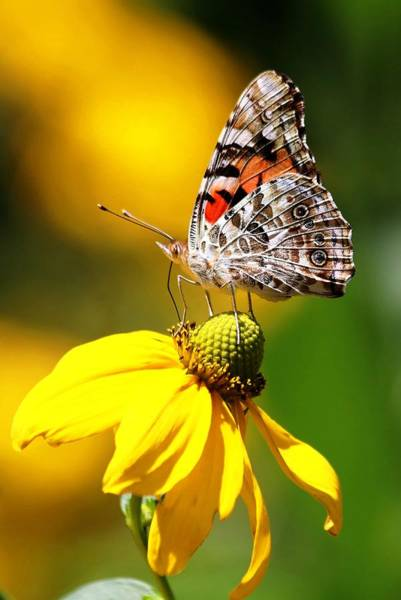 Photograph - Painted Lady Butterfly IIi by Carol Montoya