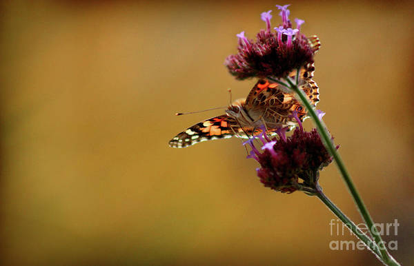 Photograph - Painted Lady Butterfly In Gold by Karen Adams