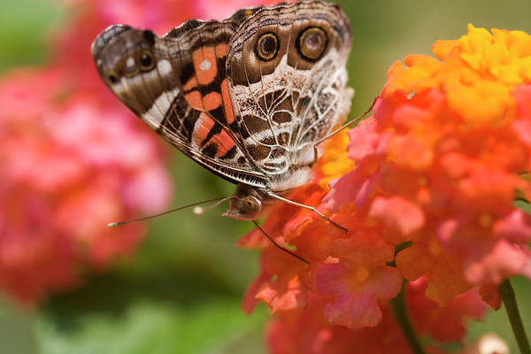 Photograph - Painted Lady Butterfly by Jill Lang