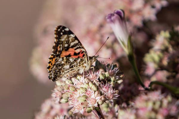 Photograph - Painted Lady Butterfly On Flowering Sedum Matrona #2 by Patti Deters