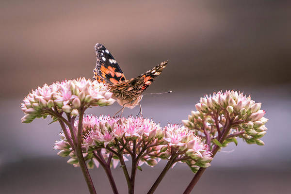 Photograph - Painted Lady Butterfly On Flowering Sedum Matrona #3 by Patti Deters