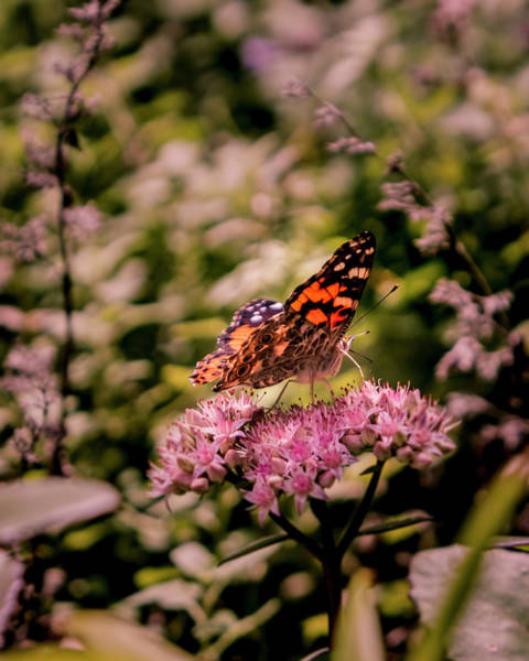 Photograph - Painted Lady Butterfly On Flowering Sedum Matrona #6 by Patti Deters