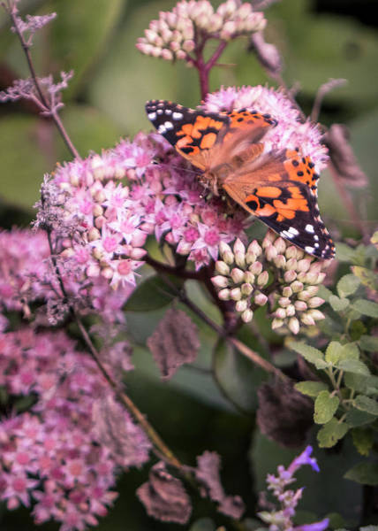 Photograph - Painted Lady Butterfly On Flowering Sedum Matrona #7 by Patti Deters