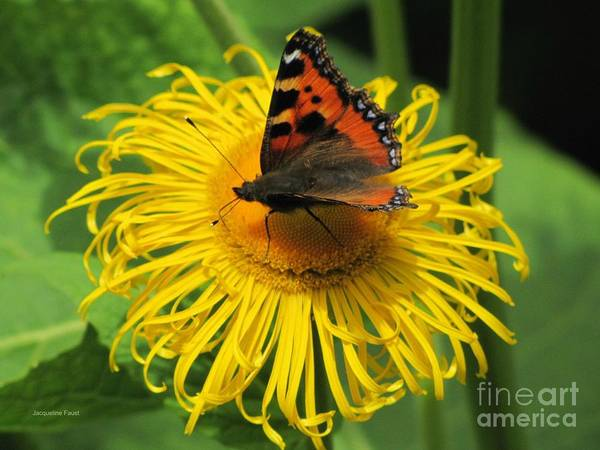 Photograph - Painted Lady  by Jacqueline Faust