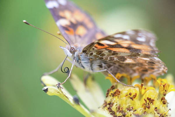 Photograph - Painted Lady Proboscis 1 by Brian Hale