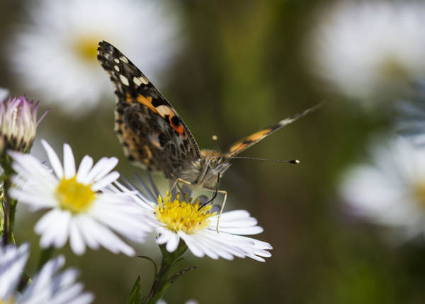 Photograph - Painted Lady Sips Nectar by Robert Potts