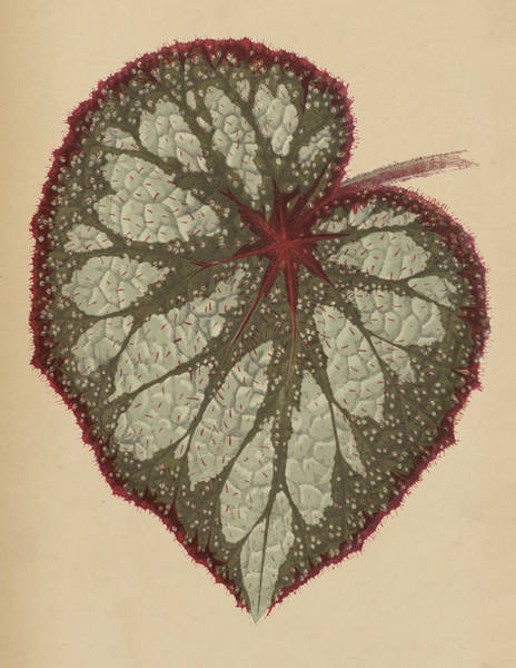 Leafy Painting - Painted Leaf Begonia by English School