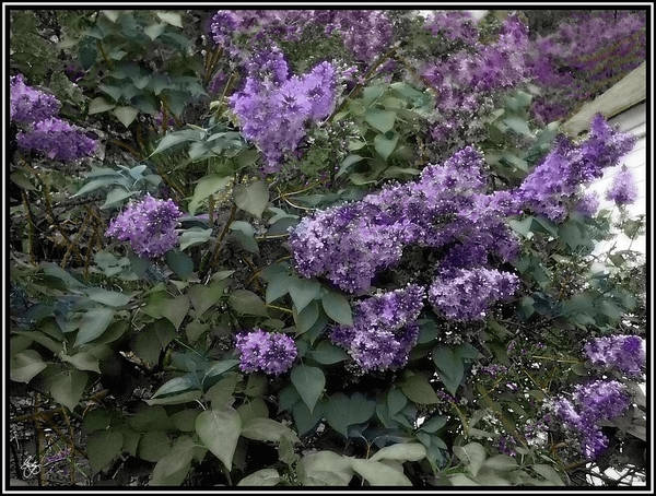 Photograph - Painted Lilacs by Wayne King