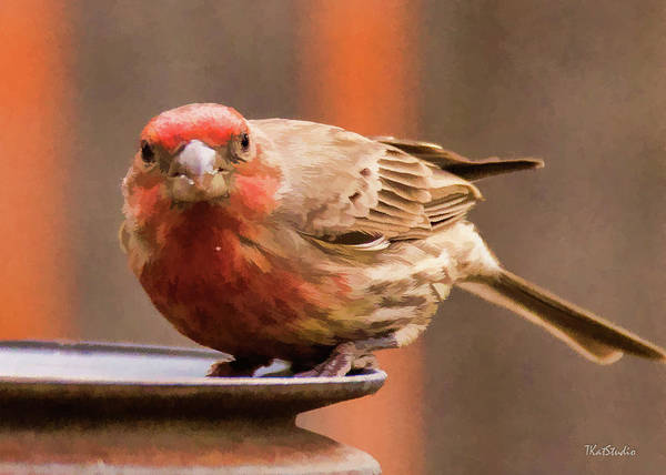 Photograph - Painted Male Finch by Tim Kathka
