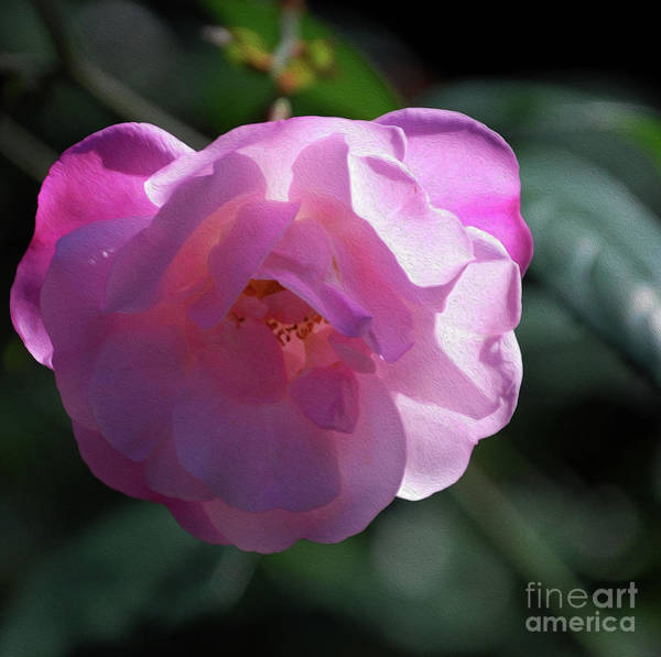 Camelia Photograph - Painted Pink Camelia by Skip Willits