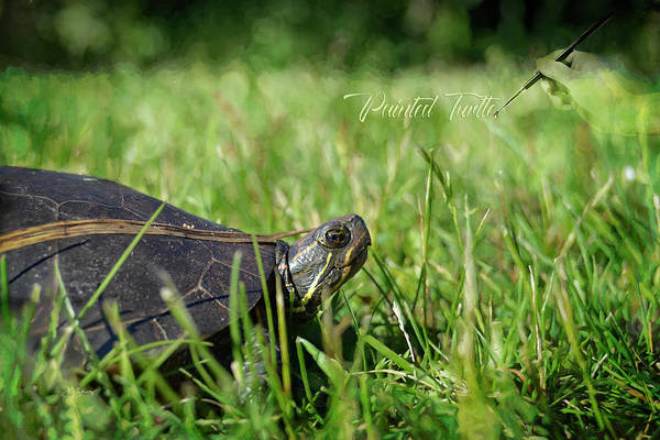 Painted Turtle Photograph - Painted Turtle by Allyson Schwartz