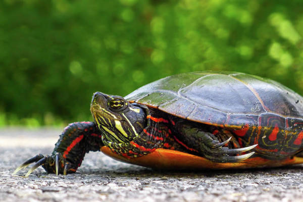 Photograph - Painted Turtle by Neil Shapiro