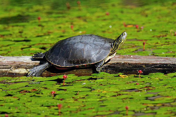 Painted Turtle Photograph - Painted Turtle On Log With Lily Pads by Sharon Talson
