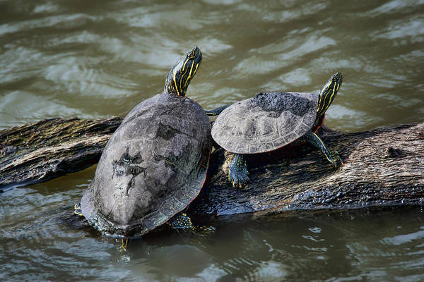 Painted Turtle Photograph - Painted Turtle Pair by Nikolyn McDonald