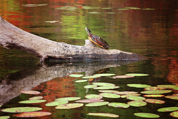 Photograph - Painted Turtle by Sue Collura