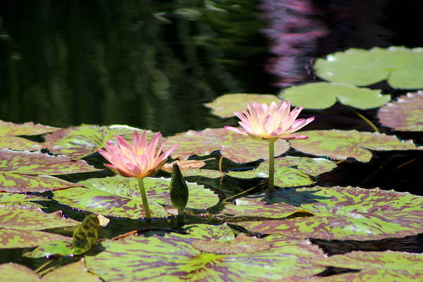 Photograph - Painted Waters - Lilypond by Colleen Cornelius