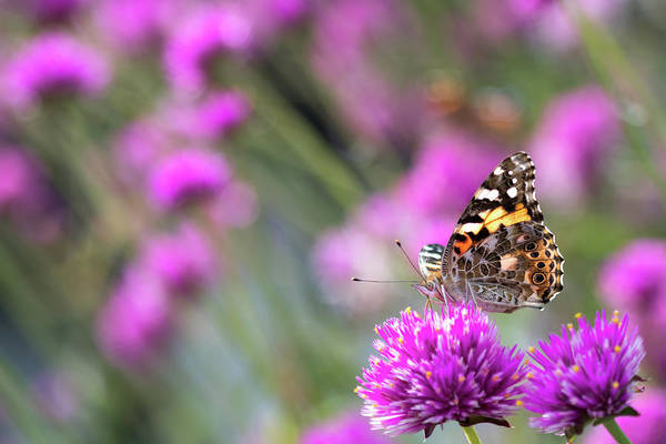 Photograph - Painterly Painted Lady by Brian Hale