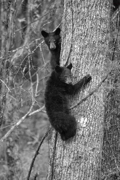 Photograph - Paintography -two Bear Cubs In A Tree by Dan Friend