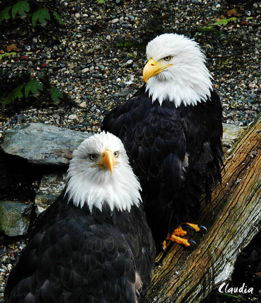 Photograph - Pair Of American Eagles by Claudia Abbott