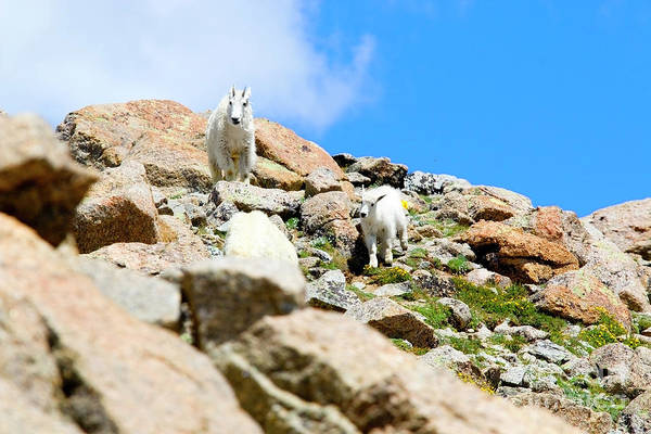 Photograph - Pair Of Baby Mountain Goats by Steve Krull