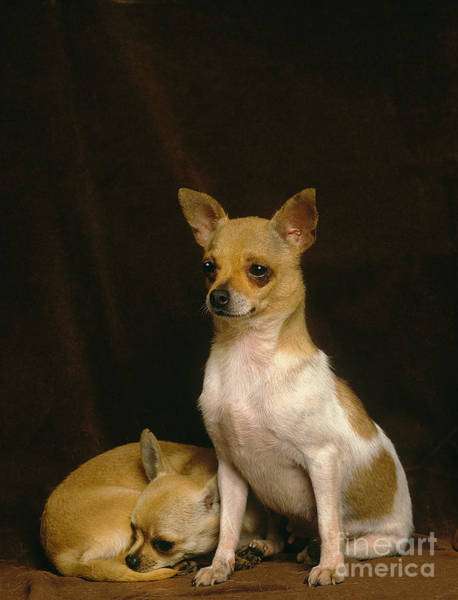 Laying Out Photograph - Pair Of Chihuahuas by Gerard Lacz