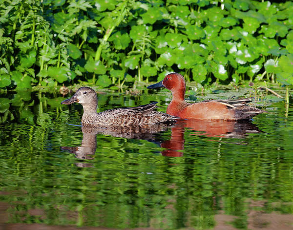 Photograph - Pair Of Cinnamon Teals by Mark Miller
