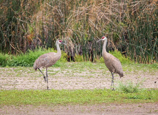 Photograph - Pair Of Cranes by Loree Johnson