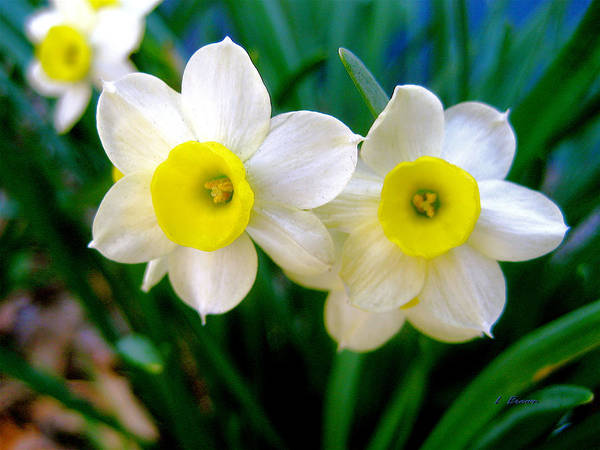 Wall Art - Photograph - Pair Of Daffodills by L Brown