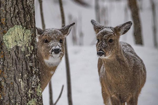 Wall Art - Photograph - Pair Of Deer by Paul Freidlund