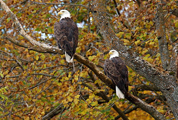 Photograph - Pair Of Eagles In Autumn by Larry Ricker