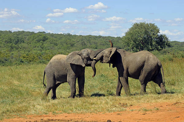 Photograph - Pair Of Elephants by Tony Murtagh