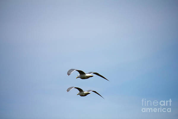 Photograph - Pair Of Gulls Flying by Donna L Munro