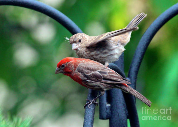 Photograph - Pair Of House Finches by Patricia Youngquist