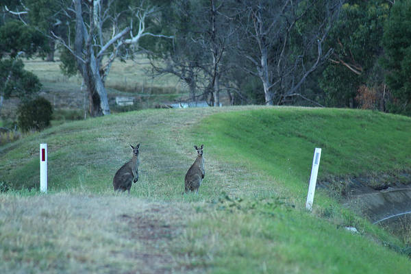 Photograph - Pair Of Kangaroos In Yarra Glen 18-03-2015 by Bert Ernie