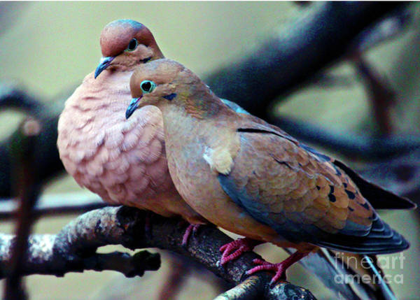 Photograph - Pair Of Mourning Doves by Patricia Youngquist