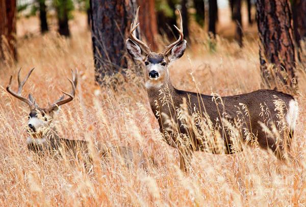Photograph - Pair Of Mule Deer by Steve Krull