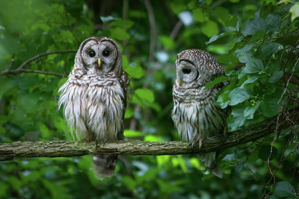 Timonium Wall Art - Photograph - Pair Of Owls by Benjamin DeHaven