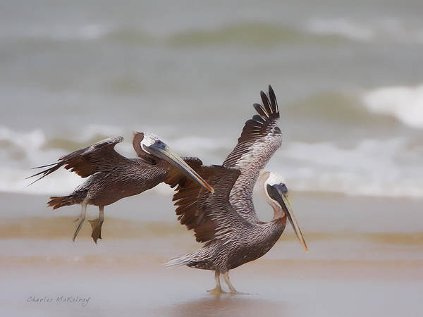 Photograph - Pair Of Pelicans by Charles McKelroy