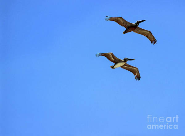 Photograph - Pair Of Pelicans by Karen Adams