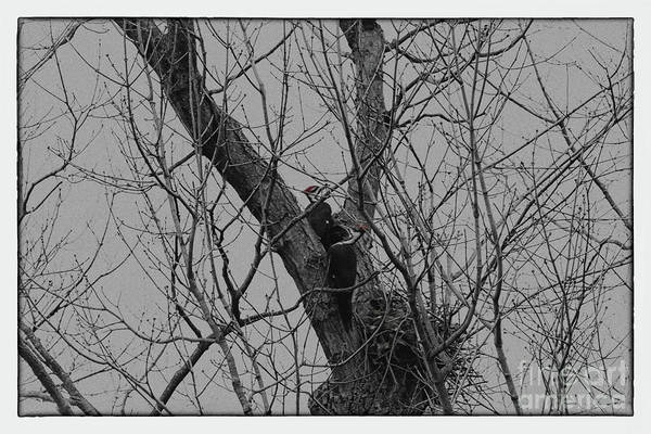 Photograph - Pair Of Pileated Woodpeckers by Karen Adams