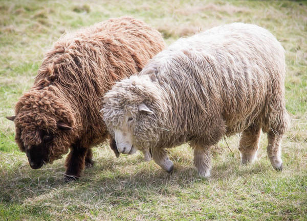 Photograph - Pair Of Sheep by Natalie Rotman Cote